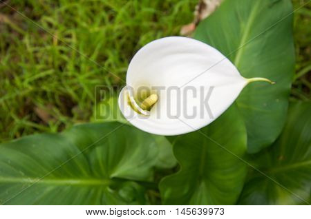 Stunning wild delicate calla lily flower with yellow stamen in lush natural reserve in Bibra Lake, Western Australia.