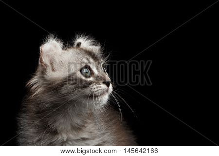 Closeup American Curl Kitten with Twisted Ears and Blue eyes Looking up Isolated Black Background, Profile view