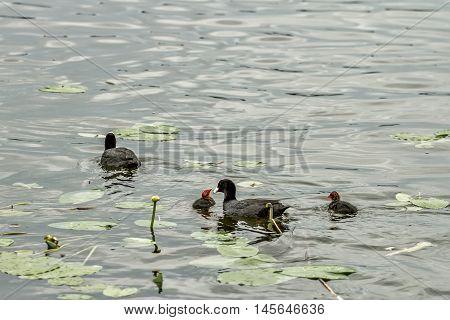 Duck Nourish Their Children