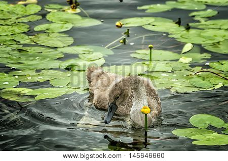 Duck Flying Among The Lilies