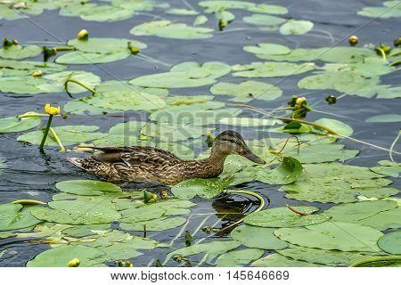 Duck Flying In Lake