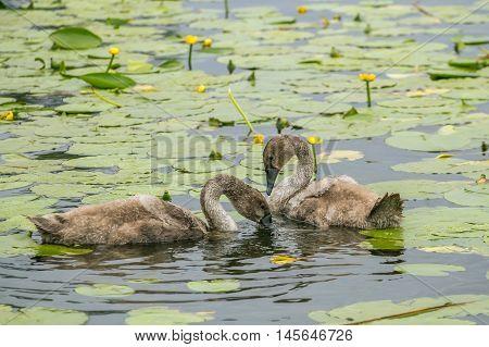 Two Duck In Lakelilies