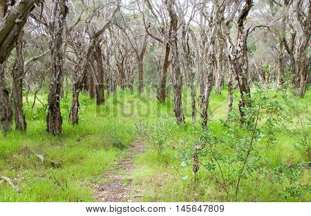 Narrow path through a Bibra Lake nature reserve with lush greenery, melaleuca trees and wildflowers under a blue sky with clouds in Western Australia.