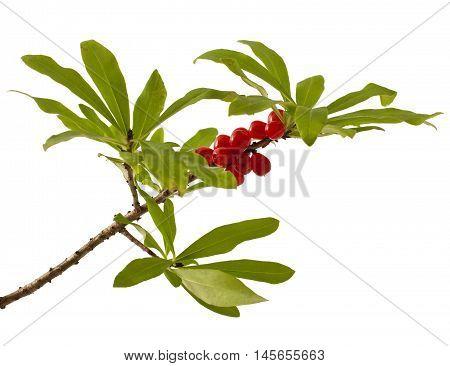 Daphne mezereum. Venomous plant on white background