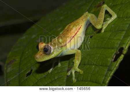 Green Frog About To Jump