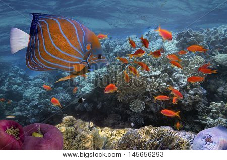 underwater image of coral reef and tropical fishes. Red Sea.