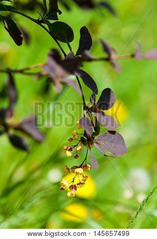 Berberis Ilicifolia