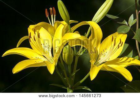 Lily (disambiguation)  Lilies  Lilium (band).
