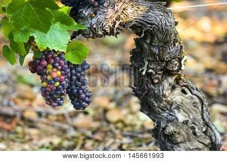 Grape Of Vine Into Vineyards Of Beaujolais