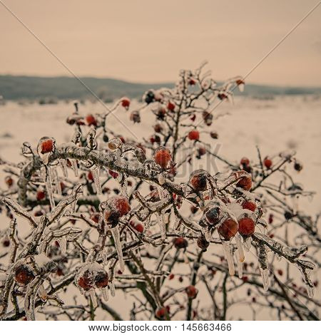 rosehip branches covered with ice in the countryside