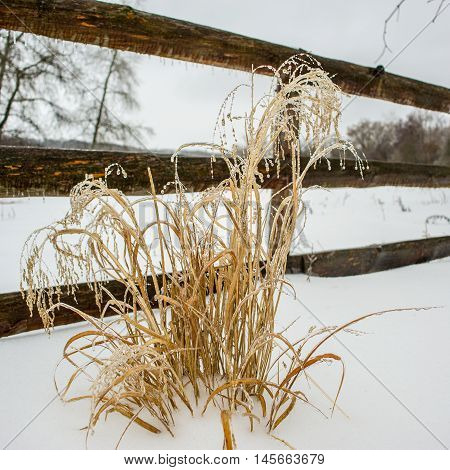ice-covered dry plant on a background of wooden fence in winter