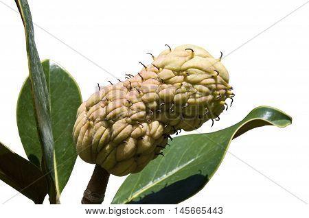 Fruit and leaves of the Magnolia tree, Magnolia grandiflora