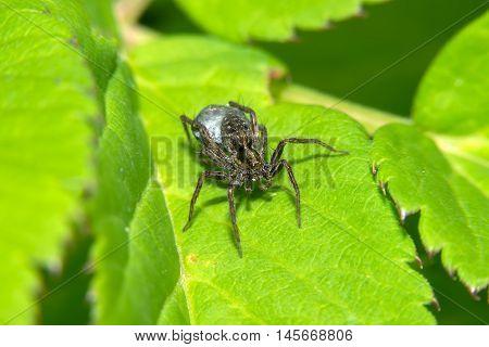 Black Spider sitting on a green leaf
