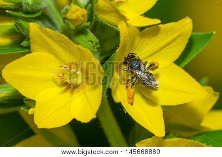 Black wasp in a yellow flower loosestrife point Lysimachia punctata