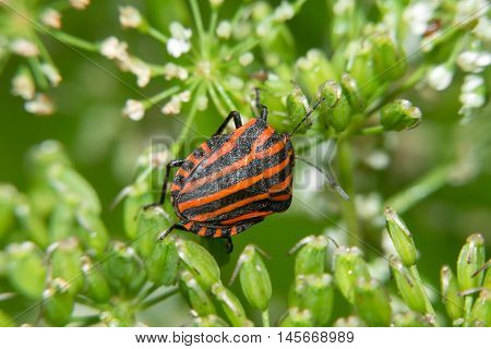 Red and black bug on wild flowers