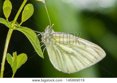 Yellow butterfly sitting on the grass in dew drops