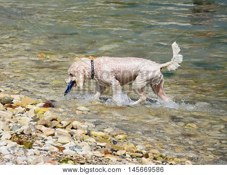A wet dog retrieving his toy from the sea Lulworth Cove Dorset England UK Western Europe.
