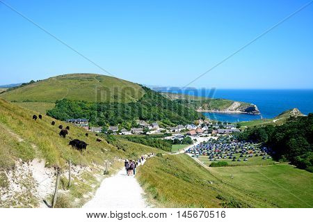 LULWORTH COVE, UNITED KINGDOM - JULY 19, 2016 - View looking down the hillside towards the cove with cows on the left hand side Lulworth Cove Dorset England UK Western Europe, July 19, 2016.
