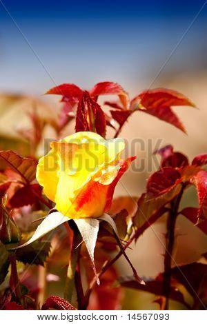 Beautiful yellow rose bud in flower garden