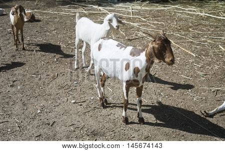 Goat Portrait, Goat Standing On A Field,filtered Image,selective Focus