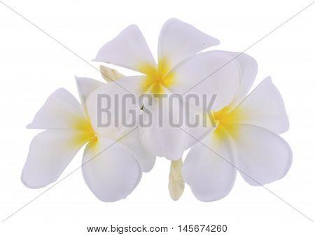 Closeup plumeria isolated on white background.  plumeria