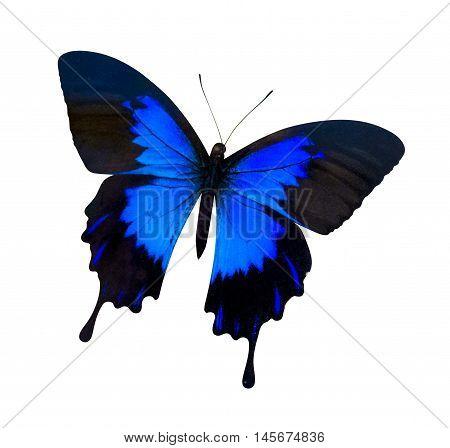 Papilio Ulysses. papilio ulysses isolated on white. butterfly on white background Papilio ulysses ampelius
