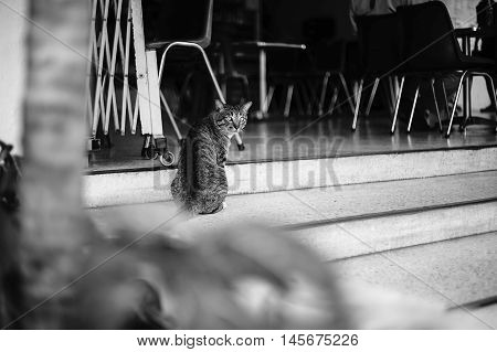 Candid Thai Cat Looked At The Camera,selective Focus,black And White Color Picture Style