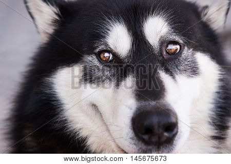 Portrait of dog breed is Malamute . she has a gorgeous and bright eyes . beauty of dogs
