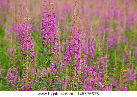 Firetop, Chamerion angustifolium, rosebay willow-herb, pigweed, French willow close-up texture
