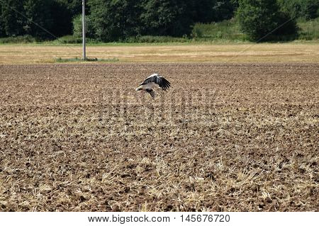 Stork flies over the field and looking for prey