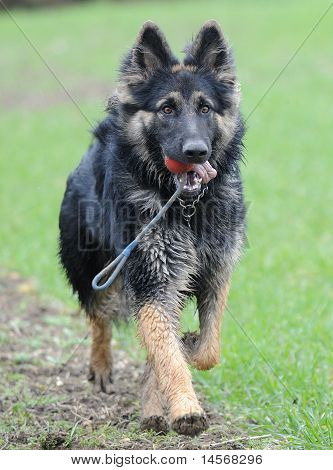 Black and tan German Shepherd in field with his ball