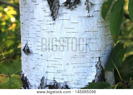 Closeup of birch tree in forest at sunset. Birch bark texture natural background close-up.