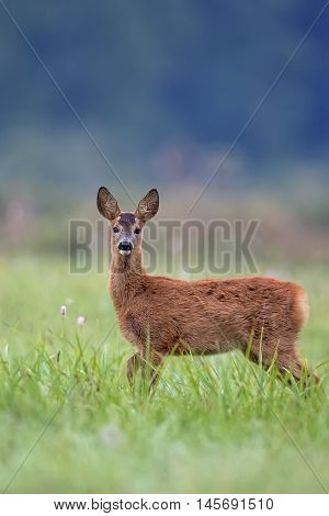 Young roe-deer in a clearing in the wild