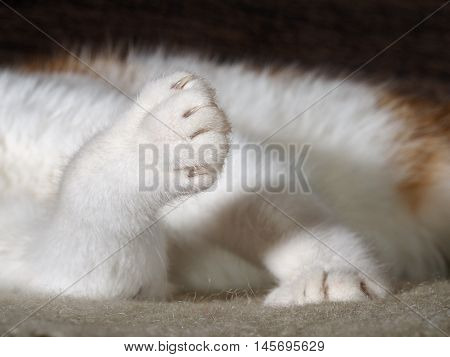 Paws cat with claws very close. White wool