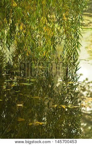 Reflection of willow branches touching water at small lake on a foggy day