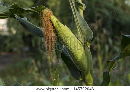 Natural Organic Farming  Sweet Corn Being Grown In Asia On Organic Farms Using Insects And Natural P