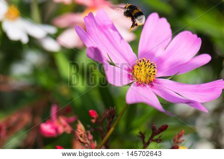 Bumblebee loaded with pollen in flight above pink flower