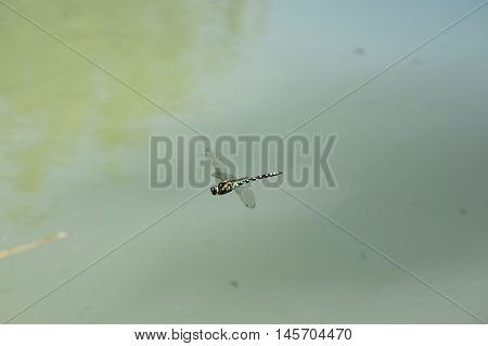 Dragonfly flies over the water. Dragonfly flies.