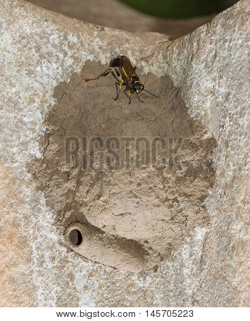 Thailand Wasps Black And Yellow Mud Wasp Showing Intricate Nest Building From Mud And Clay.