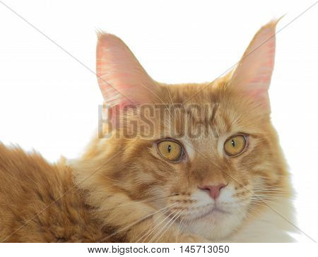 Red cat breed Maine Coon isolated on white