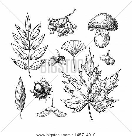 Autumn vector set with leaves berries chestnuts nuts mushrooms and acorns. Detailed forest botanical elements for decoration. Vintage fall seasonal decor. Oak maple chestnut leaf drawing.