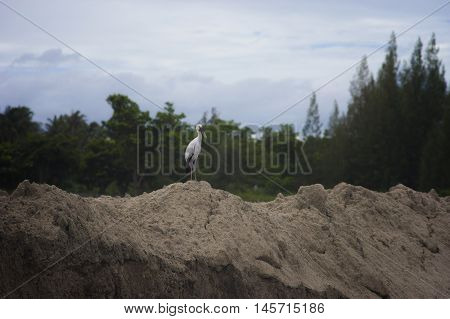 Asian Openbill Stork (Anastomus oscitans) standing on a clay with blurred green tree background,It can found this immigrated bird in Thailand,selective focus