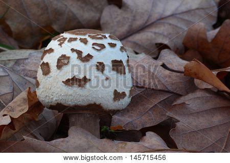 fungi, mushroom, forest, edible, white, brown, leafs, edible, macrolepiota