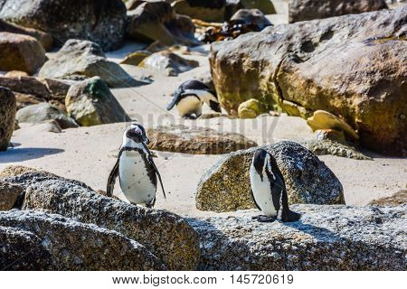 Boulders Penguin Colony, National Park Table Mountain, South Africa. Two penguins on sand and stones