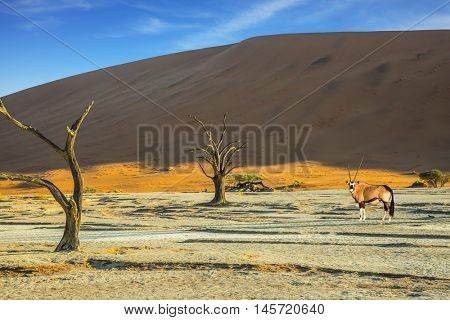 Antelope-oryx standing in the savannah. The concept of exotic tourism in Namib-Naukluft National Park, Namibia. Orange dunes and dried trees