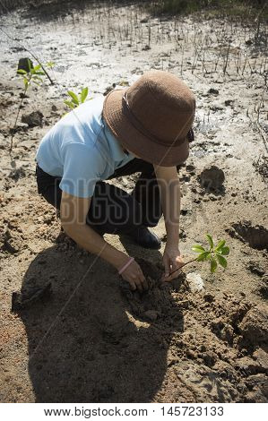 mature woman planting a mangrove tree on a mud field,filtered image