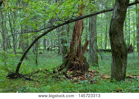 Broken linden tree stump partly declined against old natureal mixed stand, Bialowieza Forest, Poland, Europe