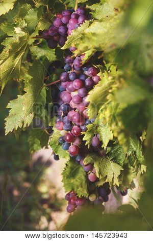Clusters of red grape ready to be harvested, sunset time. Vintage toned image, selective focus