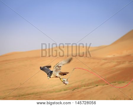 Training of Peregrine Falcon for tradtional hunting in Dubai Desert Conservation Reserve, UAE