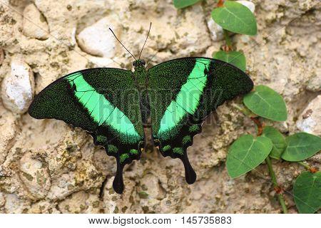 butterfly, papilio, palinurus, green black. exotic, macro
